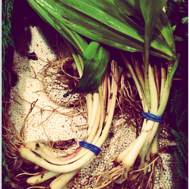 Ramps Information, Recipes and Facts