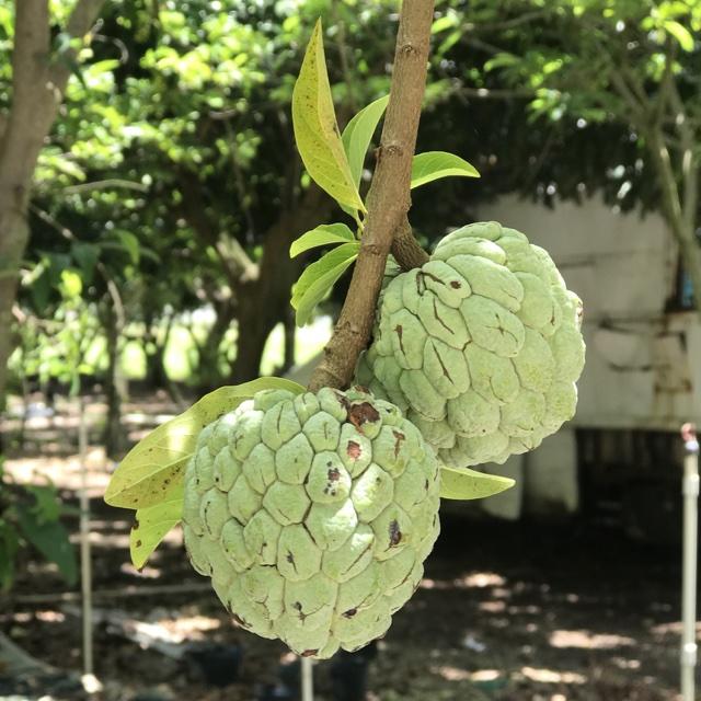 Jamaican Sweetsop Sugar Apples Informati...
