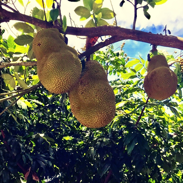 spotters comments jack fruit spotted at petes fresh market at 4343 s pulaski ave chicago il 606029