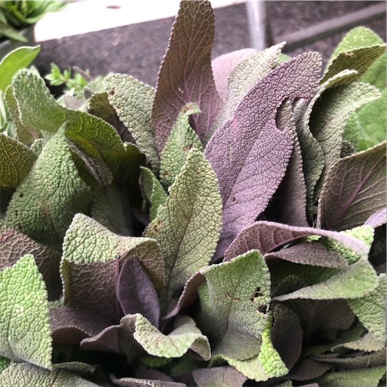 Purple Sage Information And Facts